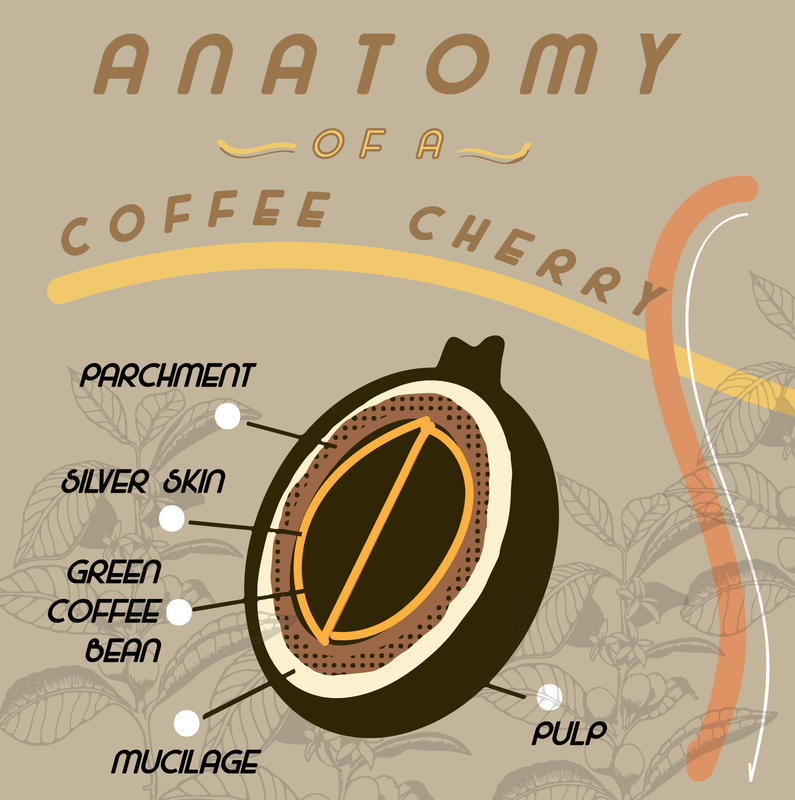 Anatomy of coffee cherry drawing